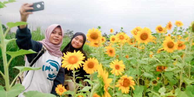 Kebun Bunga Matahari di Tasikmalaya Jadi Spot Baru Yang Instagramable