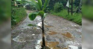 jalan rusak ditanami pohon pisang di kabupaten tasikmalaya