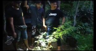 Satuan Narkoba Polres Tasik, Ungkap Ladang Ganja Di Bantarkalong